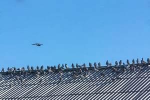 Faire Fuir Les Pigeons : loigner le pigeon biset des villes comment faire ~ Melissatoandfro.com Idées de Décoration