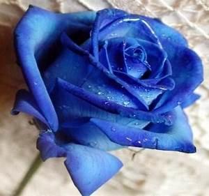 quelle est la signification des roses bleues 3 etapes With quelle couleur avec le bleu 6 la signification des roses quelle couleur de roses offrir