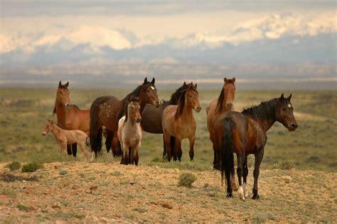 wild horses horse american north groups action seek endangered act adaptations burros animals species america management mustangs bureau land burro