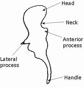3D Anatomy of the ear
