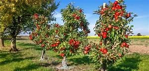 Wann Apfelbaum Pflanzen : apfelbaum pflanzen in 6 schritten zum eigenen obstbaum im ~ Lizthompson.info Haus und Dekorationen