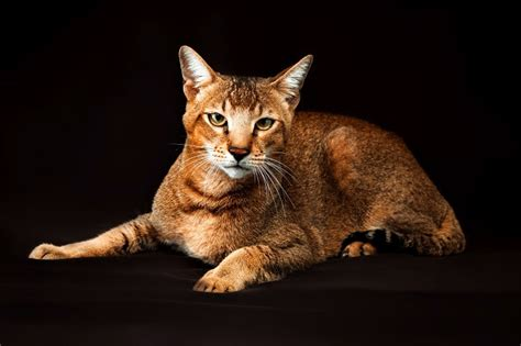 chausie cat breed size appearance personality