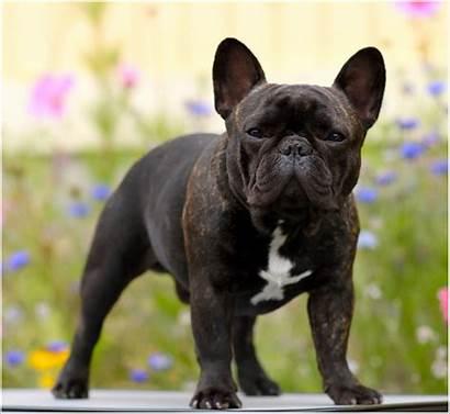 French Bulldog Brindle Bulldogs Rocks Mydoggy