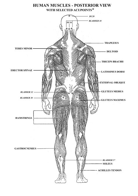 Worksheets Muscles Human Body  Google Search  Anatomy  Pinterest  Art, Art Model And Tags