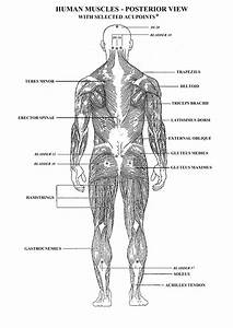 Worksheets Muscles Human Body