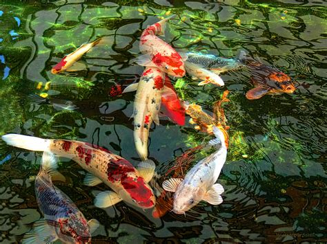 koi pond wallpaper wallpapersafari