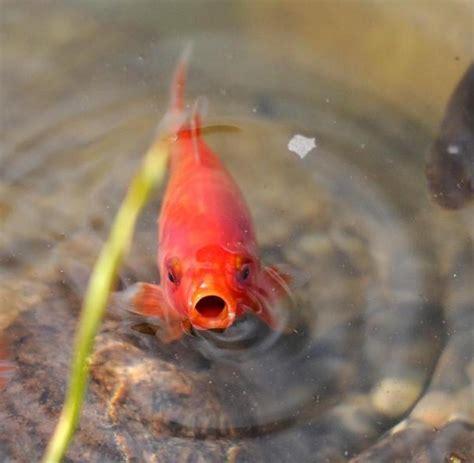was fressen goldfische freiheit f 252 r den goldfisch tiere fressen teiche leer welt