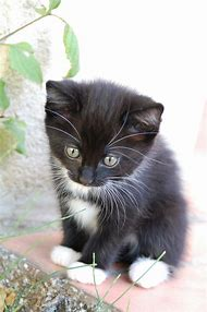 Image result for PHOTOS OF TUXEDO CATS - BING