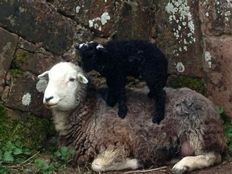 sandra stolkers herdy lamb giving mum  massage