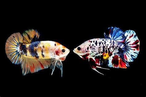 marble plakat betta splenden fighting fish poster