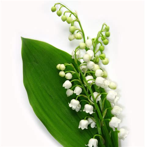 comment garder un muguet en pot et si on