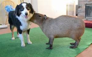 Border Collie And Capybara Have A Love Story Hotter Than ...