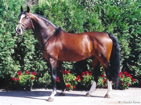 rio grande horse horses stallions voltaire warmblood elite breeding hunter filius showjumping futurist dressage breeders farms jumper csha