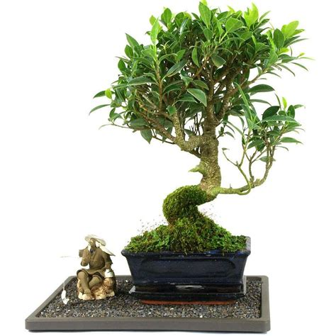 Ficus Ginseng Pflege Tipps by Pflege Ficus Bonsai Der Ficus Ginseng Tipps Zur Pflege