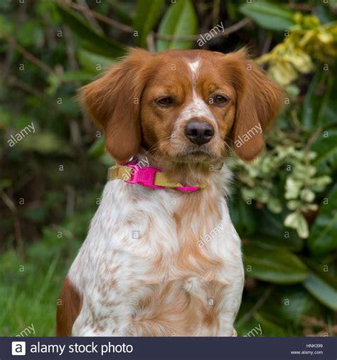 brittany spaniel dog Stock Photo, Royalty Free Image ...