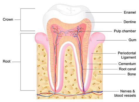 Tooth Bone Diagram endodontic tooth knowledge in brandon fl active care