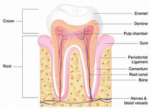 Endodontic Tooth Knowledge In Brandon  Fl