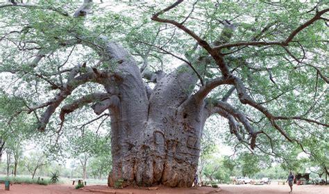Umírající baobaby: Záhadná smrt stromů života   100+1 ...