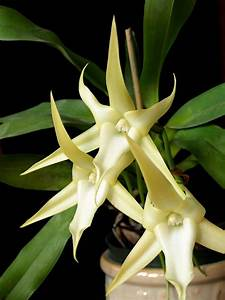 Star Orchid Care – How To Grow A Star Orchid Plant  Star