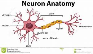 Diagram Of Neuron Anatomy Stock Vector  Illustration Of