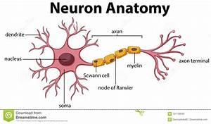 Neuron Diagram Labeled