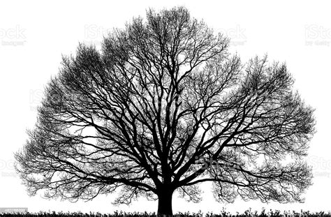 Black Oak Tree Isolated On White High Resolution Stock