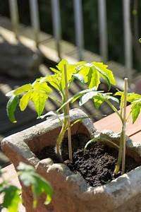 Pflanzen Im Mai : tomaten im k bel auf dem balkon anbauen ratgeber garten nutzpflanzen ~ Buech-reservation.com Haus und Dekorationen