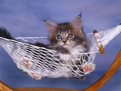 Kitten In A Hammock by In Hammock Cats Animals Background Wallpapers On