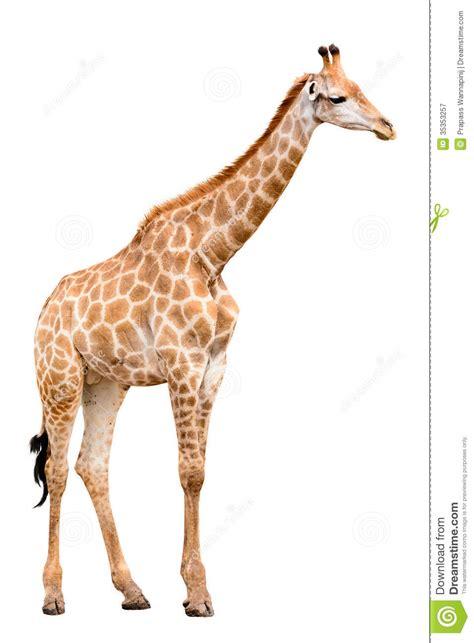 giraffe isolate royalty  stock photography image