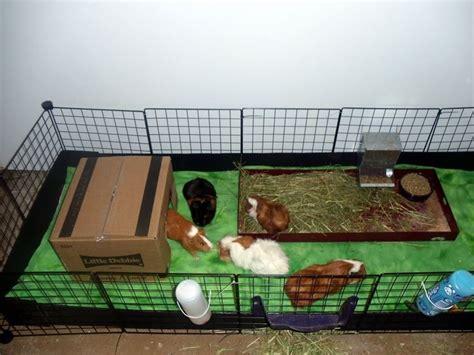 Gabbia Per Cavia Peruviana - porcellini d india cavie caratteristiche dei