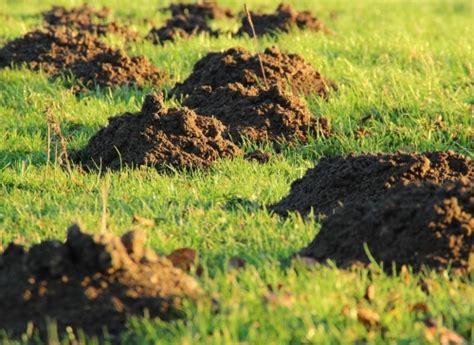 eliminare le talpe dal giardino talpe in giardino ecco i rimedi per eliminare le talpe