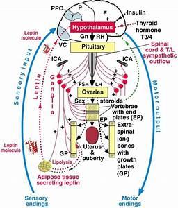 Diagram Of Relevant Somatic  Blue  And Autonomic Nervou