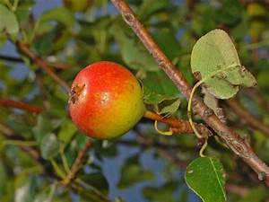 hoe groeit fruit