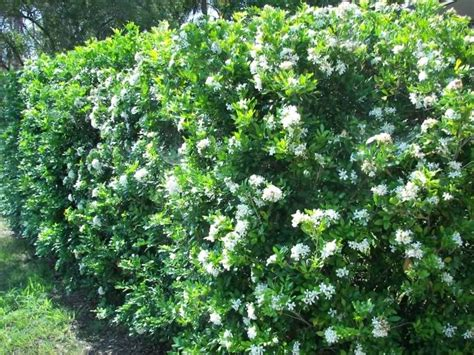 hedge with flowers kamini good for hedges screening border orange like fragrant flower used for puja