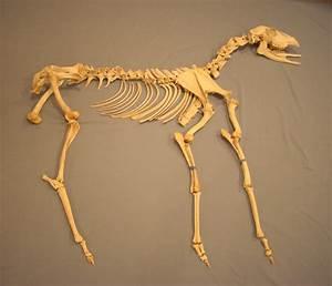 Deer Skeleton Puzzle