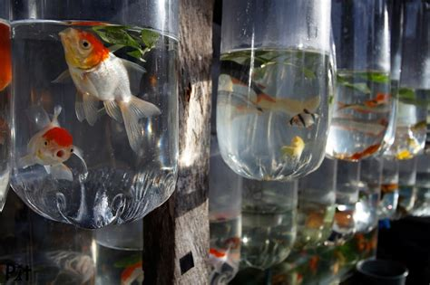 poissons d eau douce pour aquarium photographies de poilloux moluques sulawesi 2010 makassar 0311 poissons d eau douce pour