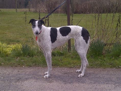 Rosa Has Been Homedgreyhound Lifeline