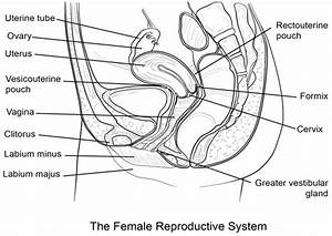 Draw A Labelled Diagram Of Female Reproductive System