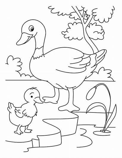 Duck Coloring Duckling Clipart Ugly Mewarnai Bebek
