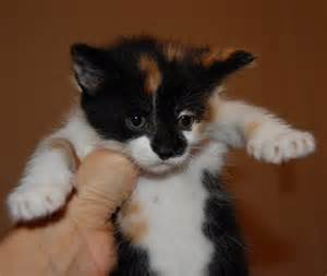 cats for adoption me cclas paw tastic suri s kittens will be up for