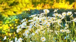 Schmucklilie überwintern Gelbe Blätter : margerite bekommt gelbe bl tter ursachen und ma nahmen ~ Eleganceandgraceweddings.com Haus und Dekorationen