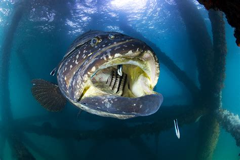 grouper queensland giant mouth open ocean cleaning underwater wide face print