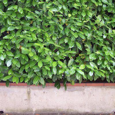 kirschlorbeer und heckenpflanzen blog