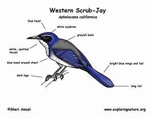 Jay  Western Scrub