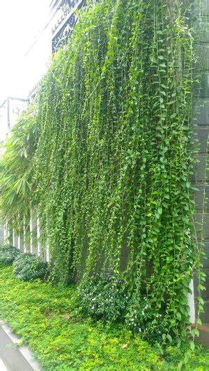 tanaman hias rambat gantung
