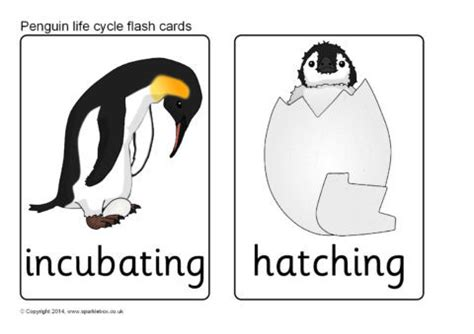 penguin life cycle flash cards