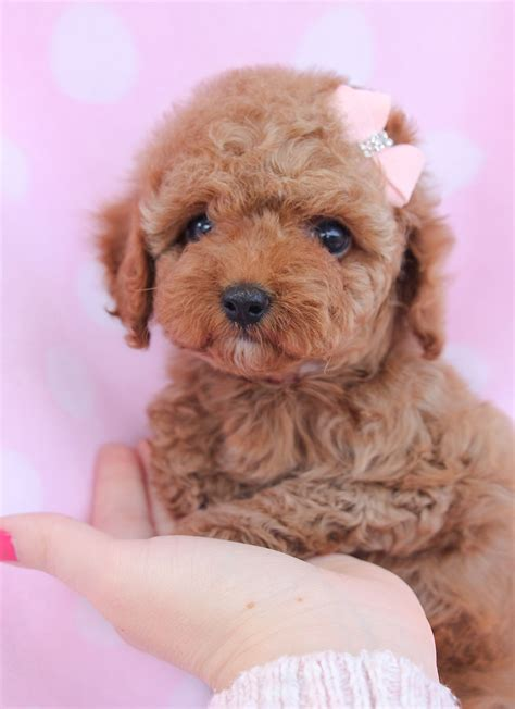 toy poodle puppy  sale  south florida adorable pets