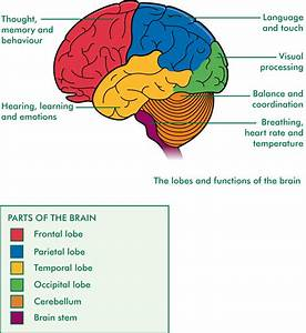 Parts  Parts And Functions Of The Brain