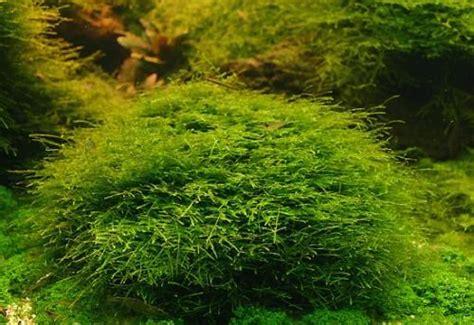 plantes pour aquarium sans subtrat sans sol nutritif
