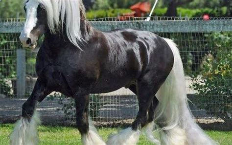 gypsy vanner magnif view   black horse  white